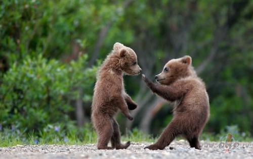 Lai arī brūno lāču populācija... Autors: ere222 zxzxhzc Lāči