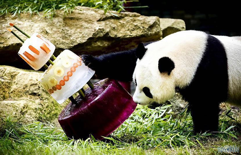 Ne visas milzu pandas ir melnā... Autors: vienanominkam Lielās pandas.