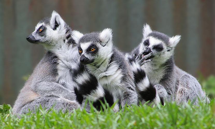Lemurs ir cēlies no latīņu... Autors: ere222 zxzxhzc Lemuri