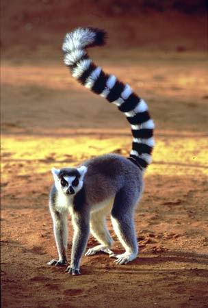 Lemuru galvenā maņa ir oža Autors: ere222 zxzxhzc Lemuri