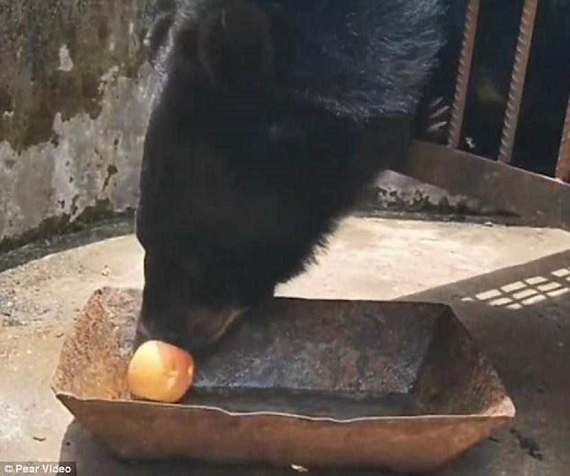 Misis Su iegadājās mazu melnu... Autors: pyrathe Ķīniešu ģimenei suņa vietā pārdod lāci