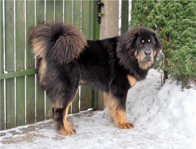 Tibetas mastifu suņu sugas ir... Autors: pyrathe Ķīniešu ģimenei suņa vietā pārdod lāci