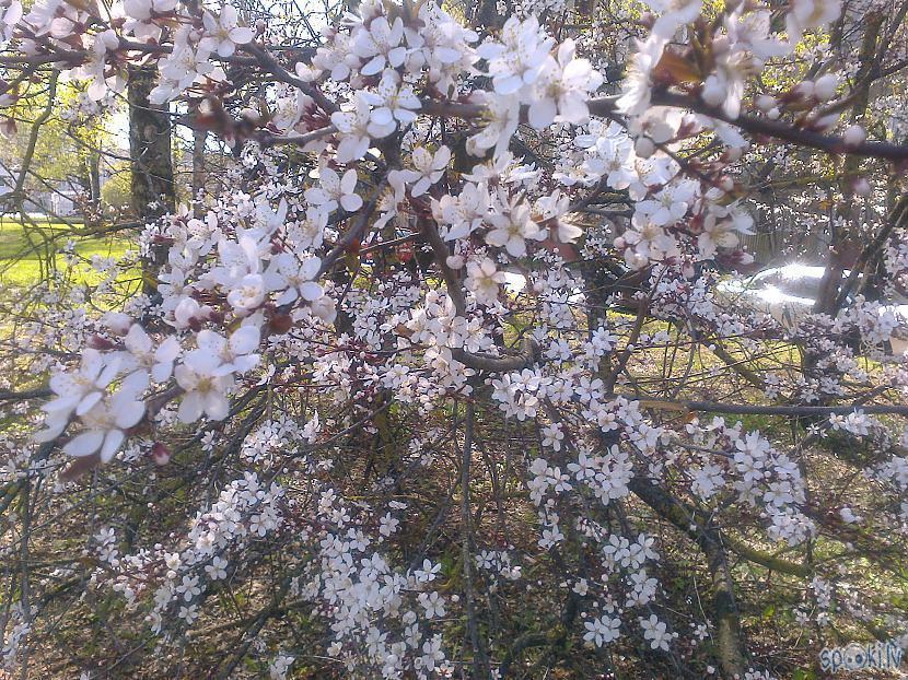 Kad ķirsis zied kā aptracisUn... Autors: ezkins Noskaņu variācijas