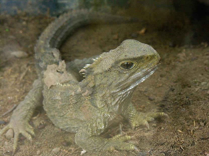 Tuatara  110 gadiTas ir mazs... Autors: Lestets 13 dzīvnieki ilgdzīvotāji
