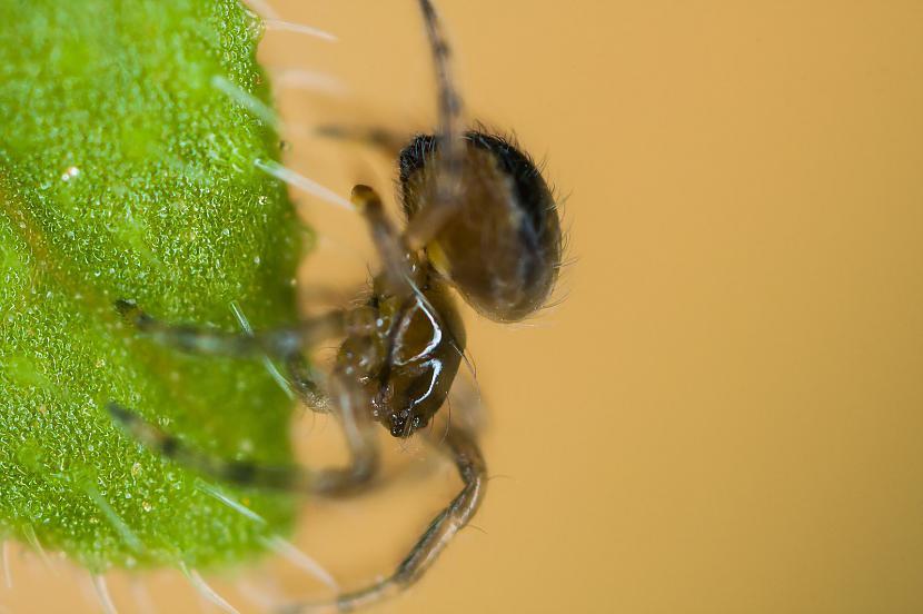 Tie ir mazi nekaitīgi zirnekļi... Autors: Kapteinis Cerība Interesanti fakti par Pundurzirnekli