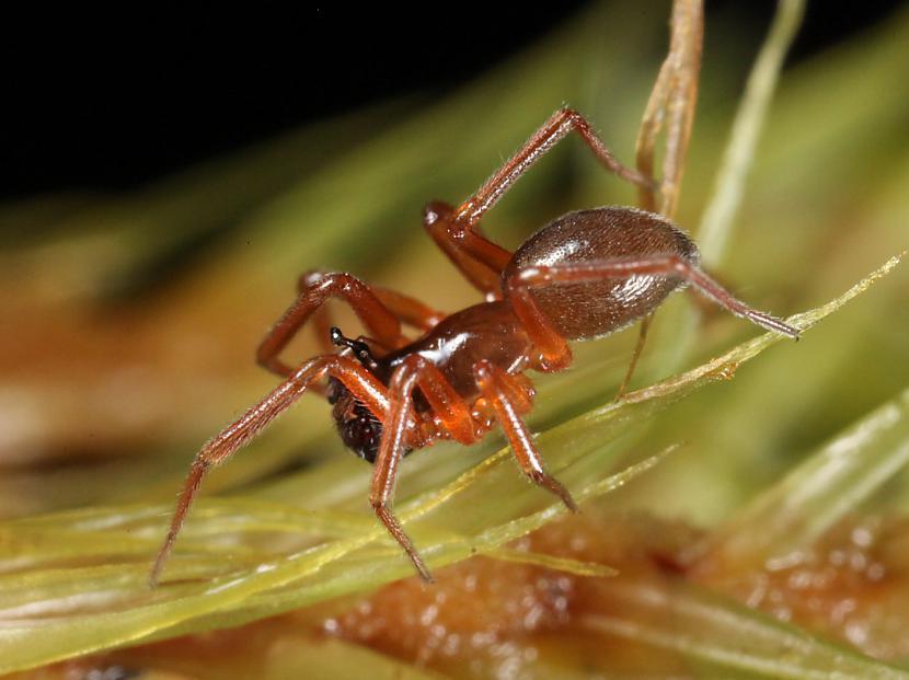 Scaronie mazie zirnekļi... Autors: Kapteinis Cerība Interesanti fakti par Pundurzirnekli