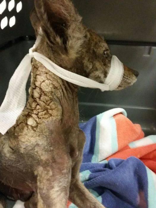 Vietējā mājas saimniece atrada... Autors: nikrider Cilvēki izglāba ļoti slimu suni, bet beigās saprata, ka tas vispār nav suns