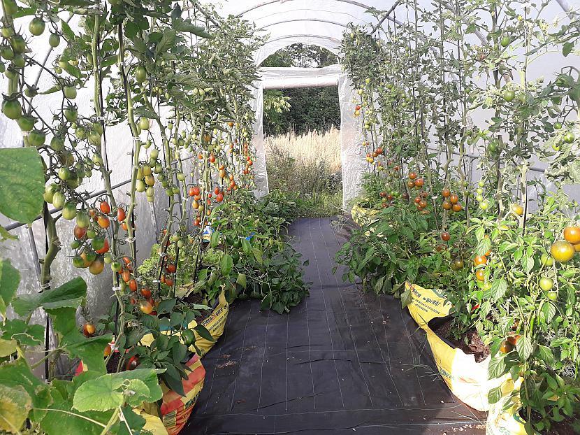 Tiek audzēti tauki tomāti... Autors: Griffith Atvaļinājums - 26. augusts, 2019. 1/2 daļa.