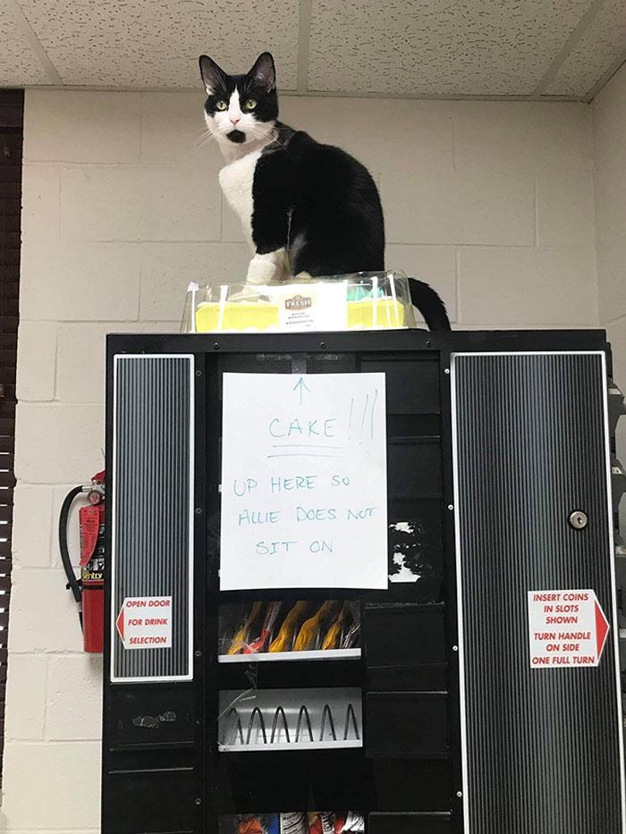Uzlieciet kūku augstāk lai... Autors: Zibenzellis69 Vairāk nekā 10 kaķu fotogrāfijas, kas atšķiras ar sliktu izturēšanos