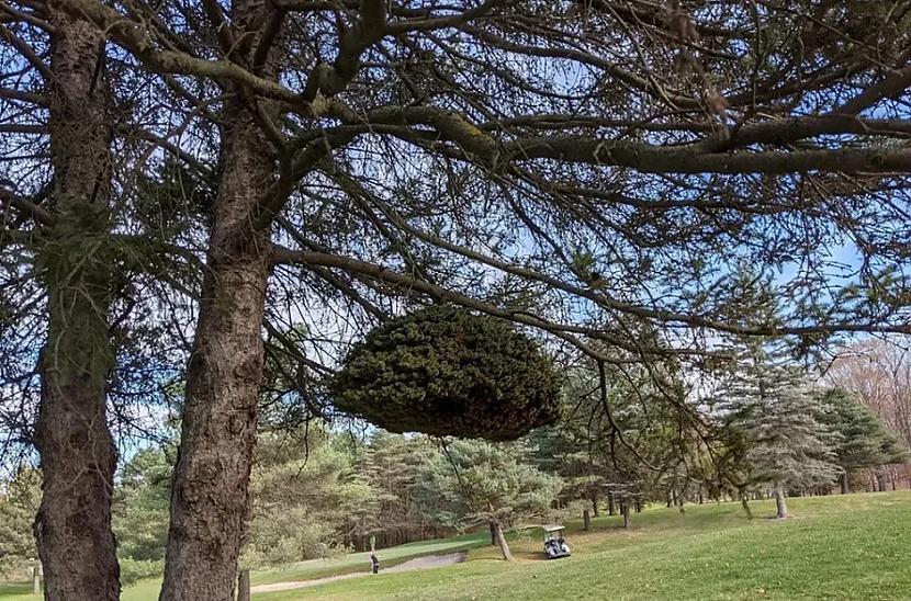 Arī kokiem gadās audzēji kurus... Autors: Lestets 20 neparastas lietas, ko mēs parasti neieraudzīsim