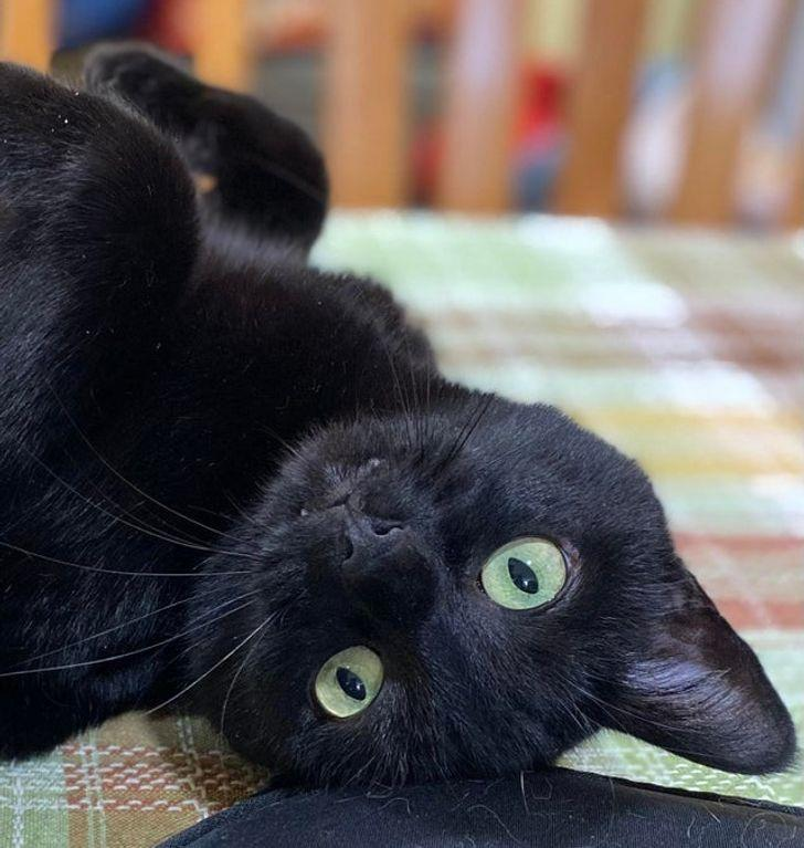 Paraugdemonstrējums kā... Autors: Lestets 26 slinki kaķi, kuru īstā vieta būtu uz skatuves